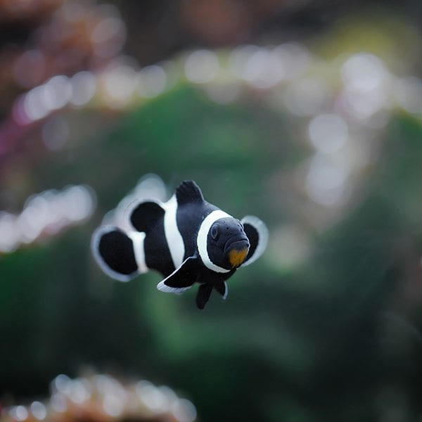 black ocellaris clownfish fish doctor